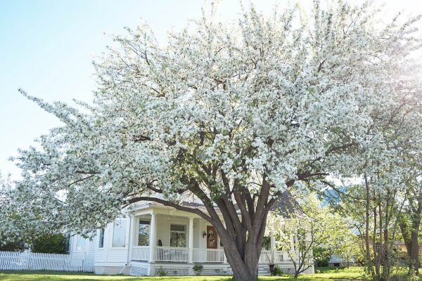 White House with apple blossom