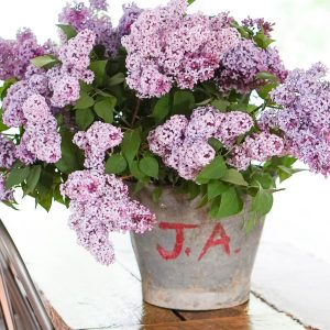 Antique bucket of lilacs