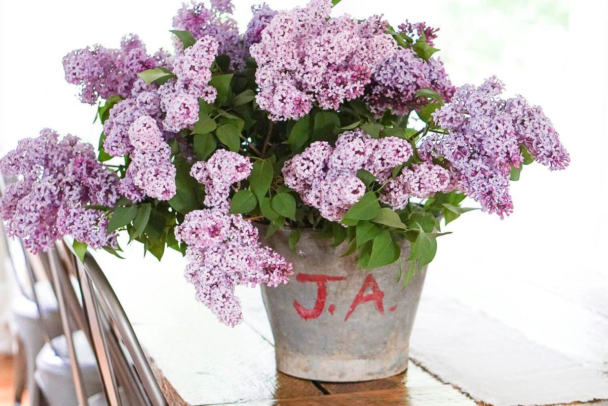 Antique bucket of purple lilacs
